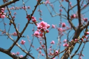 Peach Blossoms 3