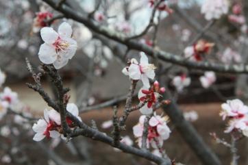 Plum Blossoms 4