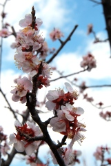 Plum Blossoms 3