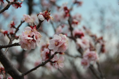 Plum Blossoms 2