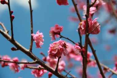 Peach Blossoms 4