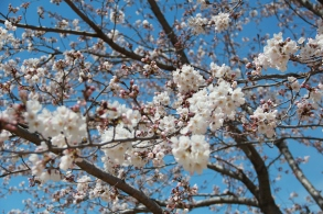 Cherry Blossoms in Koga