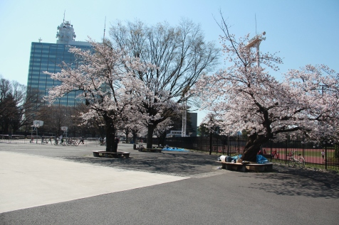 Cherry blossoms in the concrete jungle