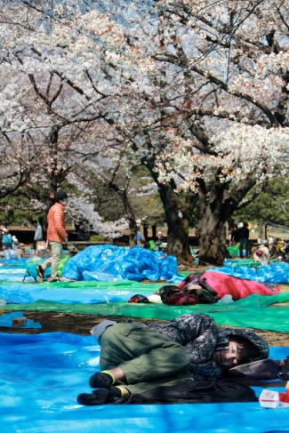 Sleeping under the sakura