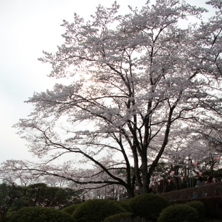 Afternoon Sakura