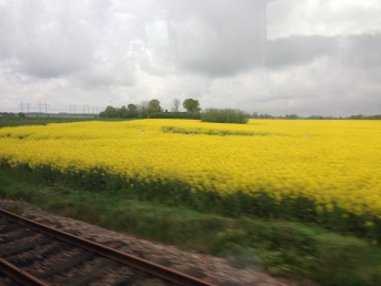 Fields of yellow