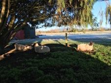 Sheep in Matamata